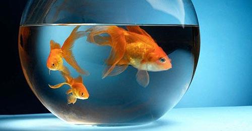 Золотые рыбки для денег